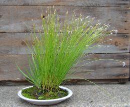 Trichophorum alpinum (Scirpus hudsonianus)